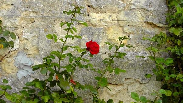 rose-77355__340