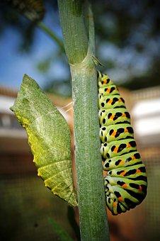 Raupe - Puppe caterpillar-3488651__340